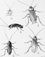 180px-Cockroaches_smallpng.png